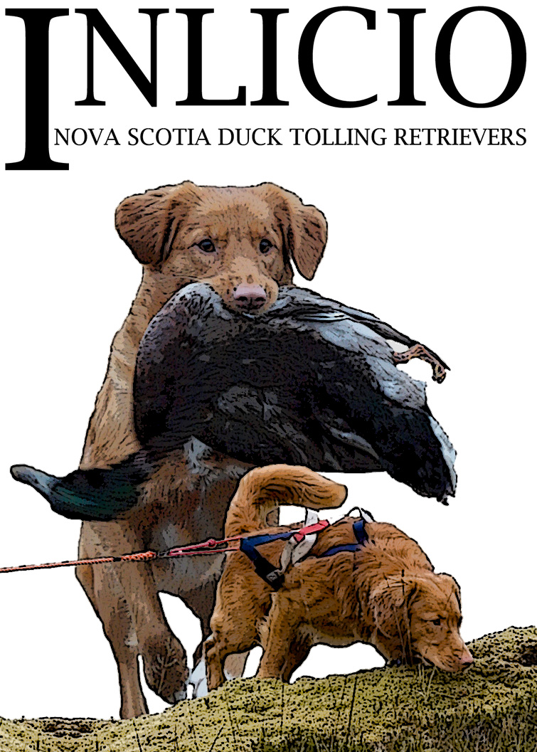 KENNEL INLICIO - Nova Scotia Duck Tolling Retrievers